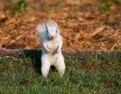 White squirrel in the grass — Stock Photo
