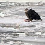 Adult bald eagle — Stock Photo #64077307