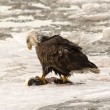 Adult bald eagle — Stock Photo #64077415