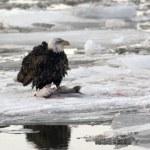 Adult bald eagle — Stock Photo #64077419