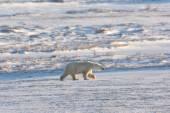 Weiblicher Eisbär — Stockfoto