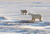Female polar bear and cub — Stock Photo