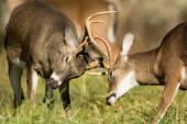 White-tailed deer bucks — Stock Photo