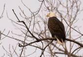 Adult bald eagle — Foto Stock
