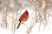 Mužské Kardinál červený — Stock fotografie