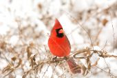 Erkek kuzey kardinal — Stok fotoğraf