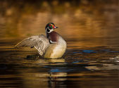 Wood duck flapping its wings — Stock Photo