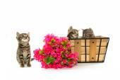 Three tabby kittens — Stock Photo