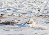 Female polar bear nursng cub — Stock Photo
