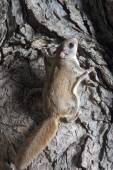 Fkying squirrel on a tree — Stockfoto