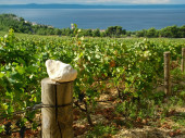Vineyards in Croatia — Stock Photo