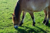 Grazing horse — Stockfoto