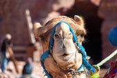Camel head closeup — Stock Photo