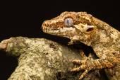 Gargoyle Gecko (Rhacodactylus auriculatus) in profile — Stock Photo