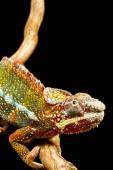Panther Chameleon (Furcifer pardalis) — Foto de Stock