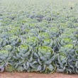 Field of Brussels Sprouts plants (Brassica oleracea) — Stock Photo #56575937