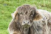 Close up of cross bred highland cow — Stok fotoğraf