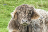 Close up of cross bred highland cow — Zdjęcie stockowe