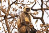 Indian Gray langurs or Hanuman langurs Monkey (Semnopithecus ent — Stock Photo