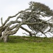 Ancient lone hawthorn tree (Crataegus monogyna),sculpted by the — Stock Photo #62012971