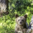 Brown bear cub (Ursus arctos) watchful in the forest — Stock Photo #62013531