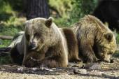 Brown bear (Ursus  arctos) resting in the sunshine — Stock Photo