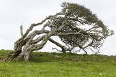 Ancient lone hawthorn tree (Crataegus monogyna),sculpted by the — Stock Photo
