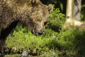 Portrait of a male Brown Bear (Ursus arctos) — Stok fotoğraf