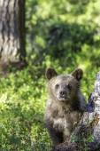 Brown bear cub (Ursus  arctos) watchful in the forest — Stock Photo