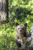 Brown bear cub (Ursus  arctos) watchful in the forest — Stok fotoğraf
