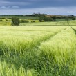 Panorama of a wheat field in spring — Stock Photo #75427605
