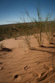 Footprints in the red sand of the Kgalagadi Transfrontier Park desert — Stock Photo