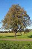 Lonely tree on Blonia Park in Krakow, Poland — Foto de Stock