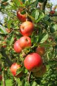 Red ripe apples on the branch — Stock Photo