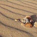 Sea shells on sandy beach — Stock Photo #69744637