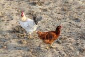 Cock and hen on the yard — Stock Photo