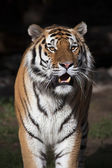 Closeup bright sunny portrait of a dreadful Siberian tiger. — Stock Photo
