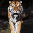 Fullsize bright sunny portrait of a dreadful Siberian tiger. — Stock Photo #57102995