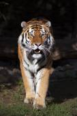 Fullsize bright sunny portrait of a dreadful Siberian tiger. — Stock Photo
