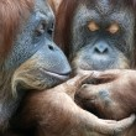 Wild tenderness among orangutan. — Stock Photo #58875937
