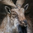 Closeup portrait of a markhor male. — Stock Photo #58875977