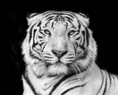 Black and white macro face portrait of white bengal tiger. — Stock Photo