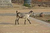 Indian goat — Stock Photo