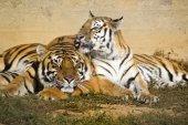 Tiger and tigress — Stock Photo