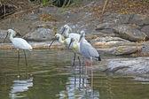 Indian birds — Stock Photo