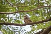 Little owlet — Stock Photo