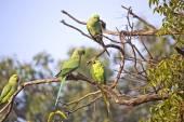 Parakeets — Stock Photo