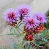Milk Thistle growing in the Crimea — Stock Photo