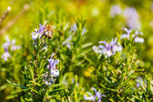 Spring photo of rosemary flowers and bee — Stock Photo