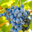 Purple red grapes with green leaves on the vine — Stock Photo #64231847